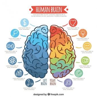 modele-infographic-du-cerveau-colore_23-2147589524
